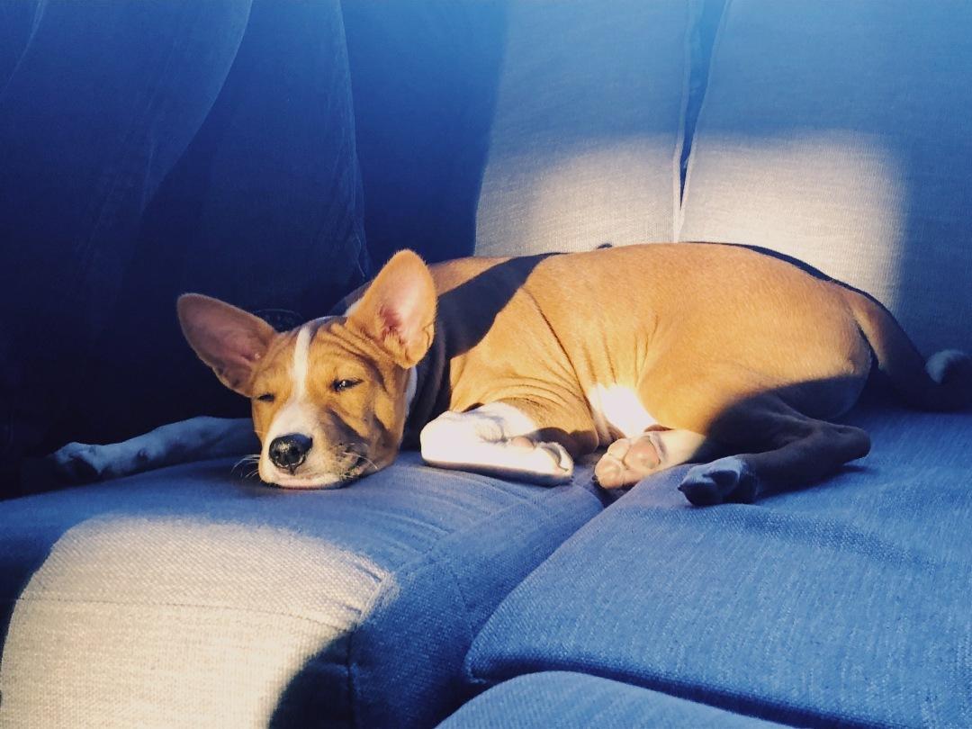 Kontorshunden Lobo chillar i solen.