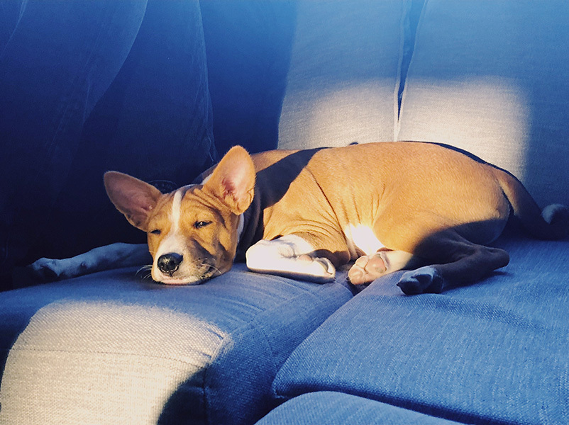 Lobo de Pablo cute little Basenji sleeping in couch